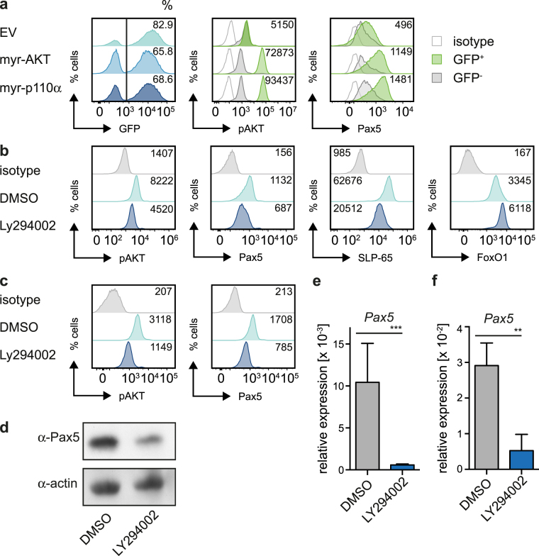 PI3K regulates Pax5 expression. ( a ) Cells from a bone marrow (bm)-derived wildtype (wt) pre-B cell culture were transduced with constitutively active forms of AKT (myr-AKT), p110α (myr-p110α), or as control with empty vector (EV) and analyzed for pAKT and Pax5 expression by intracellular FACS. If not indicated otherwise, numbers in the histograms state the mean fluorescence intensity (MFI) of the respective GFP + populations. ( b ) Cells from a bm-derived wt pre-B cell culture were treated with LY294002 or DMSO for 16 h and analyzed for pAKT, Pax5, SLP-65 and FoxO1 expression by intracellular FACS. ( c ) Cells from a SLP-65-deficient pre-B cell line were treated with LY294002 or DMSO for 12 h and pAKT and Pax5 expression was analyzed by intracellular FACS. ( d ) Murine mature B cells (CD43 − ) were isolated and treated with LY294002 or DMSO for 12 h, lysed and subjected to immunoblot for analysis of Pax5 expression. Actin served as a loading control. For original full-length blots see Fig. S1e . ( e ) Total RNA of SLP-65-deficient cells treated for 12 h with LY294002 or DMSO was isolated. Gapdh and Pax5 mRNA-levels were detected with specific primers by qRT-PCR using the SYBR-Green detection method. Results are shown as mean ± SD of 2 independent experiments, run as duplicates. Statistical significance was calculated using the t-Test. ( f ) Total RNA of murine mature B cells treated with LY294002 or DMSO for 12 h was isolated. Gapdh and Pax5 mRNA-levels were detected with specific primers by qRT-PCR using the SYBR-Green detection method. Results are shown as mean ± SD of 2 independent experiments, run as duplicates. Statistical significance was calculated using the Mann-Whitney Test. Data shown in Fig. 1a–d are representative of at least 3 independent experiments.