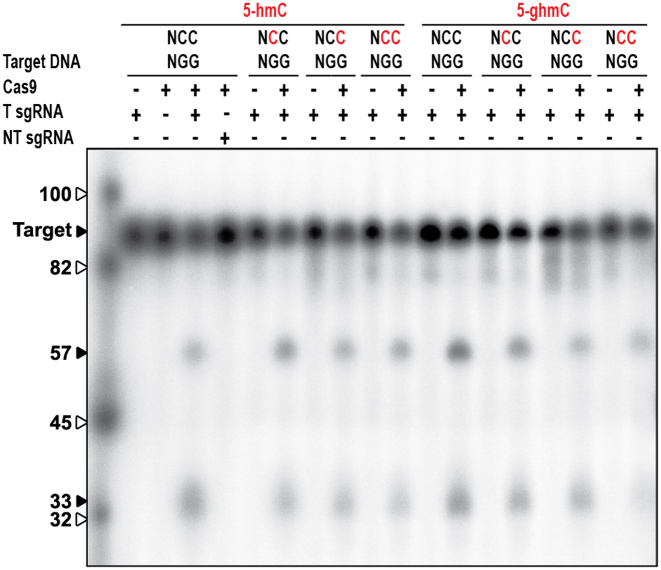 Effect of T4 DNA modifications of PAM-complementary cytosines on type II-A CRISPR–Cas sgRNA mediated DNA targeting. Cleavage assay of Cas9 on target DNA containing 5-hmC (indicated in red). Cas9 is loaded with either targeting sgRNA (T sgRNA) or non-targeting sgRNA (NT sgRNA). Restriction products of Cas9 are 57 and 33 bp. The marker is indicated by white arrows.