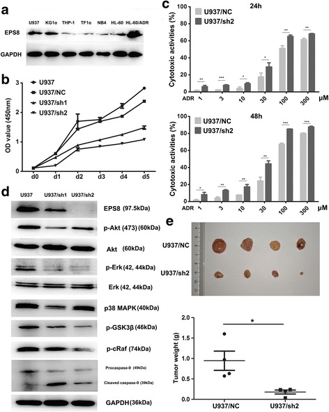 The ability of EPS8 to influence the AML cells survival. a Western blot assay of EPS8 in six AML cell lines and an adriamycin-resistant AML cell line. b Cell survival assay in EPS8 shRNA-infected U937cells compared with NC shRNA-infected and parental cells on days 0 to 5. U937/NC and U937 cells nearly filled the well by 5th day. c Chemosensitivity of U937 cells transfected with shRNA2 after ADR treatment for 24 and 48 h. d U937 cells transfected with shRNA1, shRNA2 and NC shRNA were subjected to western blot analysis for EPS8, Akt/pAkt, Erk/p-Erk, p38 MAPK, p-GSK3β, p-cRaf, Caspase-9 and GAPDH expression. e Representative images of tumors extracted from nude mice following injection of 5 × 10 6 NC shRNA-infected cells and Eps8 shRNA-infected cells. The weights of the excised tumors