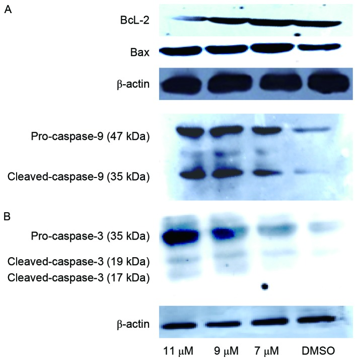 Oleanolic acid derivative altered the expression levels of apoptotic proteins in SMMC-7721 cells. Cell lysates were prepared from SMMC-7721 cells following incubation with the oleanolic acid derivative (7, 9 or 11 µM) for 48 h. Dimethyl sulfoxide-treated cell lysate was used as the control. Approximately 60 µg of protein per sample was used for immunoblotting of (A) Bcl-2 and Bax, and (B) caspase-9/caspase-3, with β-actin used as the loading control. Bcl-2, B cell lymphoma 2.