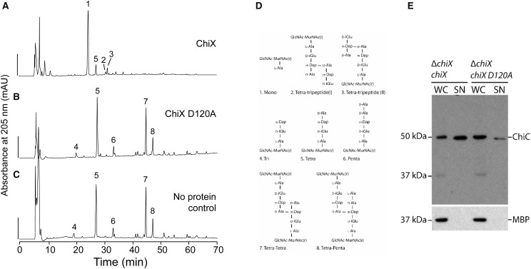 ChiX D120A is inactive and incapable of rescuing ChiC secretion in a Δ chiX mutant. The pGEX-6P-1 chiX vector was modified to code for a D120A variant of ChiX, which was then isolated from E. coli BL21(DE3) following the protocol devised for the native protein. ( A ) Native ChiX protein (0.01 µM) was incubated with sacculi isolated from E. coli strain D456 and resultant peptidoglycan fragments were digested with cellosyl, reduced and separated by HPLC. No additional zinc was added in this experiment. Scale bar, 200 mAU. ( B ) As-purified ChiX D120A (1 µM) was incubated with sacculi. ( C ) The HPLC profile of sacculi isolated from E. coli strain D456 without exposure to ChiX. ( D ) Proposed structures of peptidoglycan fragments corresponding to numbered fractions in the profile shown in ( A–C ). ( E ) S. marcescens strain JJH05x (Δ chiX ) harbouring either pBAD18 chiX ('Δ chiX , chiX ') or pBAD18 chiX-D120A ('Δ chiX , chiX D120A ') was grown overnight in LB medium supplemented with 0.02% (w/v) l -arabinose. Cultures were then separated into whole cell ('WC') and culture supernatant ('SN') and analysed for ChiC secretion by SDS–PAGE and Western immunoblotting with anti-ChiC serum. A lysis control was also carried out by tracking the localisation of periplasmic MBP.
