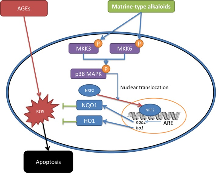 The schematic diagram of the antioxidant molecular mechanisms of matrine‐type alkaloids. AGE s (advanced glycation end products) trigger intracellular ROS (reactive oxygen species) production, which induces apoptosis of aortic endothelial cells. The matrine‐type alkaloids administration promotes the phosphorylation of MKK 3 and MKK 6. As the kinases of <t>p38</t> MAPK , phosphorylated MKK 3 and MKK 6 further phosphorylate p38 MAPK, which facilitate the nuclear translocation of Nrf2. Binding with ARE (antioxidant response element), the nuclear transcription factor Nrf2 initiates the transcriptions of antioxidant proteins such as NQO 1 <t>(NADPH</t> quinone oxidoreductase 1) and HO 1 (heme oxygenase 1). Thus, the intracellular ROS accumulation is alleviated and apoptosis is suppressed.