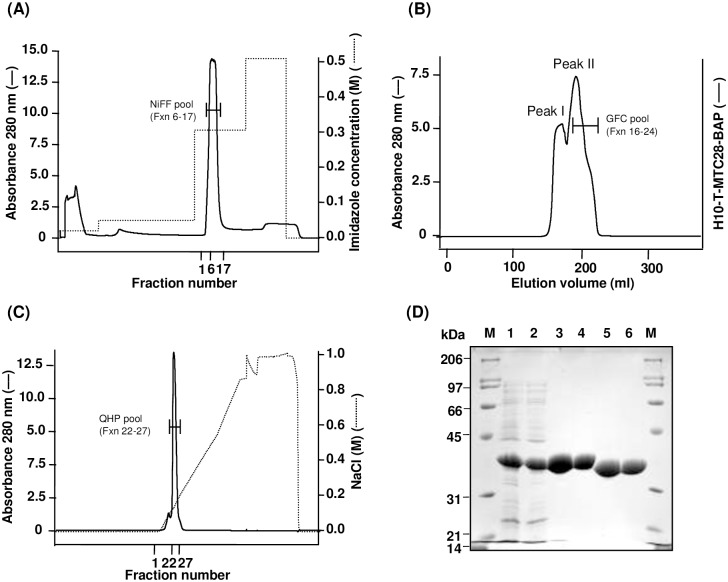 Purification of <t>MTC28-BAP</t> protein. Chromatogram showing (A) Elution profile of <t>H10-T-MTC28-BAP</t> protein on Ni Sepharose Fast Flow (NiFF) affinity column. Fraction numbers 6–17 were pooled (NiFF pool). (B) Elution profile of H10-T-MTC28-BAP protein on Superdex 75 gel-filtration column. Fraction numbers 16–24 were pooled (GFC pool). The GFC pool was treated with H6-TEV protease to cleave H10 tag from the protein followed by removal of cleaved tag and H6-TEV protease using Ni-affinity chromatography. (C) Elution profile of MTC28-BAP protein on Q Sepharose HP column. Fraction numbers 22–27 were pooled (QHP pool). (D) SDS-PAGE analysis of H10-T-MTC28-BAP protein at different stages during purification. The samples were analyzed by 0.1% SDS-12.5% PAGE under reducing conditions. The protein bands were visualized with Coomassie brilliant blue R-250 staining. Lane M, molecular weight marker, broad range (Bio-Rad, Hercules, CA) (shown in kDa); Lane 1, total cell after homogenization; Lane 2, High-High Speed Supernatant; Lane 3, NiFF pool; Lane 4, GFC pool; Lane 5, NiFF-TT pool (after desalting); Lane 6, QHP pool.
