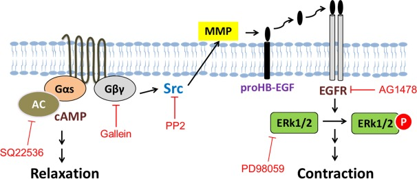 Proposed mechanism of GPER-mediated signaling in porcine coronary artery tension regulation. Activation of GPER by agonist G-1 increases cAMP production and Gβγ release, Gβγ in turn activates tyrosine kinase Src, and then metalloproteinases which cleaves and releases HB-EGF from its precursors ProHB-EGF, and HB-EGF binds and activates EGFR. Active EGFR stimulates its downstream target ERK1/2 and thus leads to contraction.