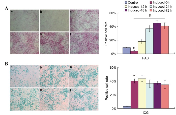 Replacement of 2% HS with 10% FBS ahead of PAS staining detection reflects the glycogen storage and accumulation function of induced HP14.5d cells. HP14.5d cells were treated with DMEM containing 2% HS + 0.1 µmol/l Dex + 10 ng/ml HGF + 20 ng/ml FGF4 for 12 days, then the induction medium was replaced with complete DMEM with 10% FBS + 0.1 µmol/l Dex + 10 ng/ml HGF + 20 ng/ml FGF4 for different time periods. (A) PAS staining and (B) ICG uptake were assessed at 12, 24, 48 and 72 h after the induction medium was changed. (a) Uninduced HP14.5d cells as control; (b) HP14.5d cells induced for 12 days with no media shift; (c) HP14.5d cells induced for 12 days and induction medium changed for 12 h; (d) HP14.5d cells induced for 12 days and induction medium changed for 24 h; (e) HP14.5d cells induced for 12 days and induction medium changed for 48 h; (f) HP14.5d cells induced for 12 days and induction medium changed for 72 h. Photomicrographs were captured under ×100 magnification. Representative images and data from ≥3 independent experiments are presented. *P