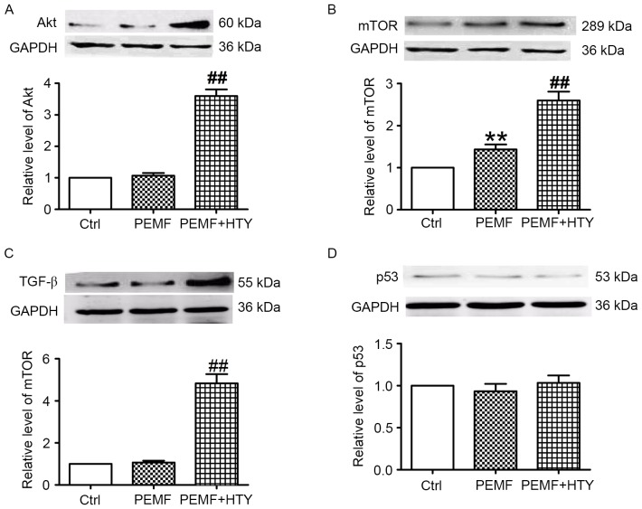 Effect of HTY and PEMF on protein expression levels of Akt, mTOR, TGF-β and p53 at 24 h. Representative western blot images and quantification of (A) Akt, (B) mTOR, (C) TGF-β and (D) p53 protein expression levels in human umbilical vein endothelial cells. Data are expressed as the mean ± standard error of three independent experiments. **P