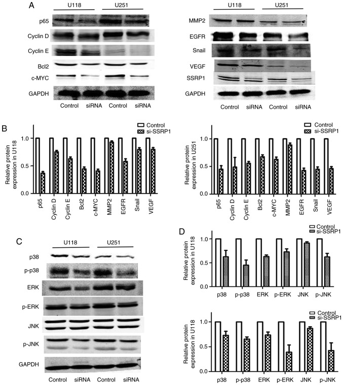 Structure-specific recognition protein 1 (SSRP1) regulates the expression of proliferation- and migration-associated genes in glioma via the MAPK pathway. (A and B) Knockdown of SSRP1 expression decreased the expression of proliferation-associated genes, including p65, c-myc, cyclin D and E. The expression of EGFR, VEGF and Snail, proteins involved in migration, were also suppressed. (C and D) The downregulated expression of SSRP1 significantly decreased the total and phosphorylated protein levels of p38 and ERK, and only the phosphorylated protein levels of JNK.
