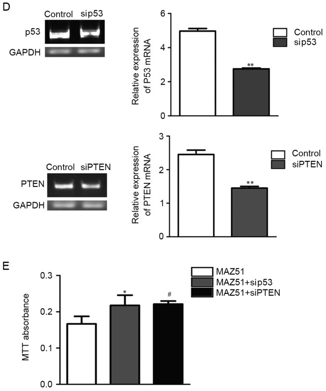 VEGFR3 inhibition improves p53 and PTEN protein expression through p-ERK. (A) Western blot analysis of phosphoproteins, control, MAZ51 and VEGF-C-treated co-cultured A549 cells revealed that MAZ51 treatment was associated with decreased p-ERK. (B) Western blot anlaysis demonstrating that MAZ51 treatment is associated with upregulated proteins p53 and PTEN in co-cultured A549 cells. (C) MEK1 inhibition (U0126) is associated with upregulation of p53 and PTEN mRNA levels. **P
