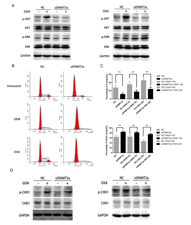 Effect of DNMT3a downregulation by siRNA on activation of AKT, CHK1 and cell cycle arrest in Panc-1 cells. (A) Panc-1 cells were transfected with DNMT3a siRNA, then the cells were treated by GEM (5 µM) and OXA (5 µM) for 6 h. The expression level of p-AKT, AKT, p-ERK and ERK in negative control and DNMT3a knockdown cells was assessed by western blot analysis. (B) Following transfection with DNMT3a siRNA and treatment by GEM (5 µM) and OXA (5 µM) for 12 and 24 h, flow cytometry was applied to observe the cell cycle alteration. (C) Percentage of cells in S and G 0 /G 1 phases. (D) Western blot analysis of p-CHK1 and CHK1 expression in Panc-1 cells, which were transfected with DNMT3a siRNA, then treated with GEM (5 µM) and OXA (5 µM) for 6 h. Data are presented as the mean ± standard deviation. **P