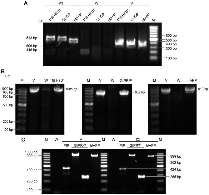 PCR re-identification electrophoretogram. (A) PCR analysis of triple <t>transgenic</t> K3 mice. Three lanes/individual, with the following main fragment order: 11β-HSD1, CHOP, and hIAPP. A total of three simultaneous bands was regarded as a positive result. (B) PCR analysis of triple transgenic L3 mice. Three exogenous main gene fragments were detected individually. (C) PCR analysis of dual transgenic Z2 miniature pigs. Four simultaneous bands were regarded as positive. The primers are listed in Table I . Marker, 100 bp <t>DNA</t> ladder. M, marker; V, positive control plasmid vector; W, negative control wild-type mice; 11β-HSD1, 11β-hydroxysteroid dehydrogenase-1; CHOP, C/EBP homologous protein; hIAPP, human islet amyloid polypeptide; GIPR dn , dominant-negative gastric inhibitory polypeptide receptor; PIP, porcine insulin promoter; PCR, polymerase chain reaction.