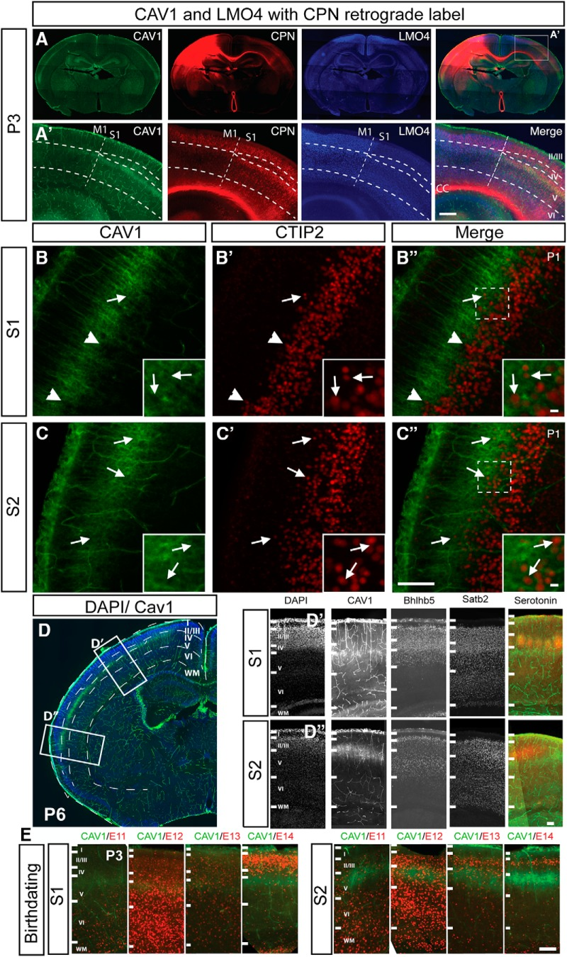 """CAV1 is expressed by Layer Va CPN in an areally restricted fashion. A , A' , Expression of CAV1 is areally restricted; CAV1 (green) is highly expressed by CPN (red; CTB 555 retrograde label) throughout primary and secondary somatosensory cortex (S1 and S2). CAV1 expression is not readily detected in CPN within motor cortex (M1), as delineated by Layer II/III expression of LMO4 (blue). A' , Inset from A . Dashed line indicates M1–S1 boundary and cortical lamina. B , In S1, CAV1 (green) is largely excluded from the <t>CTIP2</t> (red)-expression domain (arrowheads) indicating SCPN, with only a small subpopulation of CTIP2+ve neurons extending into the CAV1-expression domain (arrow). C , In S2, the boundary between CAV1 (green) and CTIP2 (red) is not as clearly defined, with more CTIP2+ve neurons interspersed with CAV1 (arrows). Regions of higher magnification insets are indicated in B"""" and C'' . D , At P6, CAV1 is expressed in Layer V, within the Satb2 and Bhlhb5-expressing domain, and below the serotonin-expressing barrel cortex in Layer IV. Regions of higher magnification insets are indicated in D'' and D'' . E , CAV1-expressing neurons are born between days E12.5 and E13.5 in both S1 and S2. deoxyuridine analogs (CldU or IdU) were injected at 12-h intervals throughout corticogenesis, and immunocytochemistry for <t>BrdU</t> (red) and CAV1 (green) was performed at P3, revealing that CAV1-expressing neocortical neurons, both in S1(somatosensory Layer V) and S2 (caudolateral expansion), are born between E12.3 and E13.5. Scale bars: 500 μm ( A' ) and 100 μm ( B–E )."""