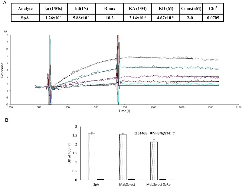 514G3 antibody binds to WT SpA with specificity and picomolar affinity. A. Antigen binding profiles of 514G3 captured on an active flow cell on a Biacore 3000. The colored lines on the sensogram represent the recorded binding response signals at different antigen concentrations from 2-0nM, and the overlaid black lines represent the fitted curves. Binding of SpA to 514G3 was monitored in real time to obtain on (ka) and off (kd) rates. The equilibrium constant (K D ) was calculated from the observed Ka and Kd and found to be 46.7pM. B. A graph showing the relative binding of 514G3 to SpA, MabSelect and MabSelect SuRe ligands. The three different SpA domain variants were coated on the wells of an ELISA plate, and then probed with <t>biotinylated</t> 514G3 or VH3/IgG3-k isotype control at 4μg/ml, and detected with streptavidin-HRP. The graph shows OD at 450nm on the y-axis and the different SpA domain variants on the X-axis. The error bars show the standard deviation from three replicates.