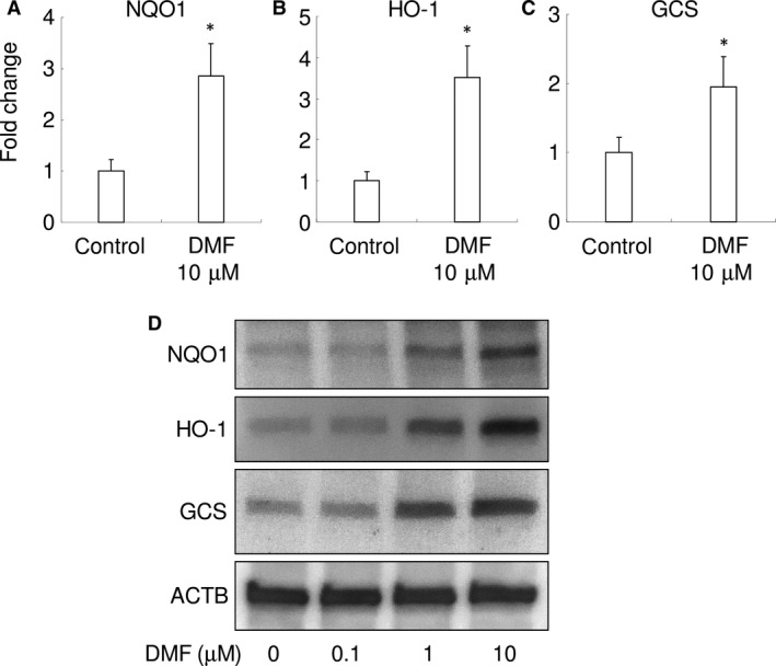 DMF  increases expression of antioxidant enzymes in  RAW  264.7 cells. Gene expression for  NQO 1  ( A ),  HO ‐1  ( B ) and  GCS  ( C ) are shown. * P