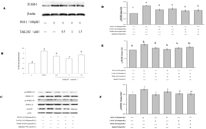 Effect of TAK242 on MAPKs phosphorylation in HUVECs treated with 9t18:1 and 11t18:1. ( A ) Effect of TAK242 on ICAM-1 expression. HUVECs were treated with TAK242 (0.5, 1, 1.5 μmol/L) for 30 min and then cultured with 9t18:1 for 24 h. ( B ) Effect of TAK242 on MAPKs phosphorylation in HUVECs treated with 9t18:1 and 11t18:1. HUVECs were treated with TAK242 (1 μmol/L) for 30 min and then cultured with TFA for 24 h. Values labeled with different letters in each set indicate significant differences ( p