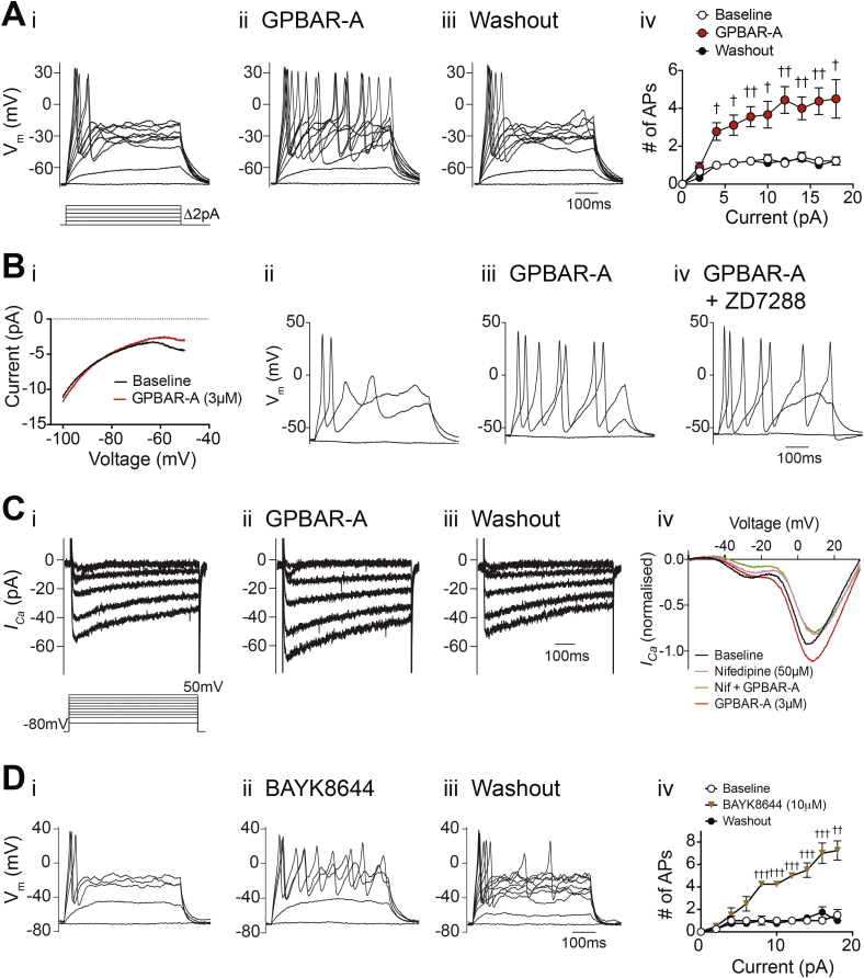 Electrophysiological responses of organoid-derived ileal L-cells to GPBAR1 agonists. (A) Perforated-patch current clamp recording of an L-cell firing action potentials evoked by depolarizing current injections before (i), during (ii) and after (iii) application of GPBAR-A (3 μM). Current was injected to maintain the cell at −70 mV, and a series of 500 ms current pulses was applied, increasing in magnitude by 2 pA. (Aiv) Mean number (n = 9) of action potentials (threshold −10 mV) elicited during current injections as in Ai-iii, with error bars representing SEM. (Bi) Current–voltage relationship as assessed by voltage ramps over 500 ms from −100 to −50 mV, from a holding potential of −80 mV. Twenty ramps per condition in each cell (n = 11 cells) were averaged to represent baseline (black trace) and GPBAR-A treatment (3 μM, red trace). Recording of an L-cell studied by the same protocol as (A), before (Bii), during application of GPBAR-A (3 μM, Biii), and additional application of the HCN channel blocker, ZD7288 (10 μM, Biv). Perforated-patch voltage clamp recordings of I Ca before (Ci), during (Cii) and after (Ciii) application of GPBAR-A (3 μM). (Civ) I Ca –voltage relationship of ileal L-cells as assessed with 160 ms voltage ramps from a holding potential of −80 mV to +80 mV, during application of GPBAR-A (3 μM) and nifedipine (50 μM). Ten voltage ramps were averaged per treatment for each cell (n = 6) and normalized to the baseline peak I Ca amplitude. Recording of an ileal L-cell, elicited by the same protocol as (A) before (Di), during (Dii) and after (Diii) application of BayK8644 (10 μM). (Div) Mean number of action potentials (threshold −10 mV) elicited during current injections as in Di-iii, with error bars representing SEM (n = 4). Statistical significance was assessed using multiple t-tests with Holm-Sidak multiple comparisons correction (Aiv and Div), p