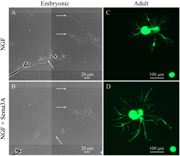 Sema3A induced axonal cone retraction and collapse in embryonic but not adult DRG neurons. Isolated embryonic and adult DRG were treated with 50 ng/ml NGF to induce neuronal growth and then Sema3A was added to the cultures to test the inhibitory effect using time lapse imaging analysis. ( A) In embryonic DRG, NGF induced a fast growth of neurites that developed long axons with extensive branching and a clear growth cone area (white arrows). (B) After 3 days in culture, Sema3A was added and time-lapse imaged recorded. Addition of Sema3A induced fast growth cone collapse and axonal retraction (white arrows) here shown after 10 h. ( C ) In adult DRG neurons, NGF induced extension and branching of neurites. (D) Addition of Sema3A has no inhibitory effect on the neurite growth and no regression or collapse of axons was observed. Representative images of neurons observed in experiments performed in triplicate, each dish with an average of 200 neurons; all neurons in every dish were evaluated (scale bars A and B = 20 μm, C and D = 100 μm).