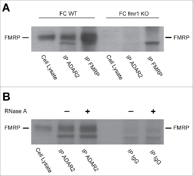ADAR2-FMRP interaction determined by co-immunoprecipitation experiments. (A) FMRP western blot on frontal cortex total cell lysate prior and after immunoprecipitation with ADAR2 and FMRP antibodies. Both WT and fmr1 KO murine FC were analyzed. (B) ADAR-FMRP interaction is RNA independent. FMRP western blot of frontal cortex total cell lysate from WT mice prior and after immunoprecipitation with ADAR2 and rabbit IgG antibodies treated or not with RNase A.