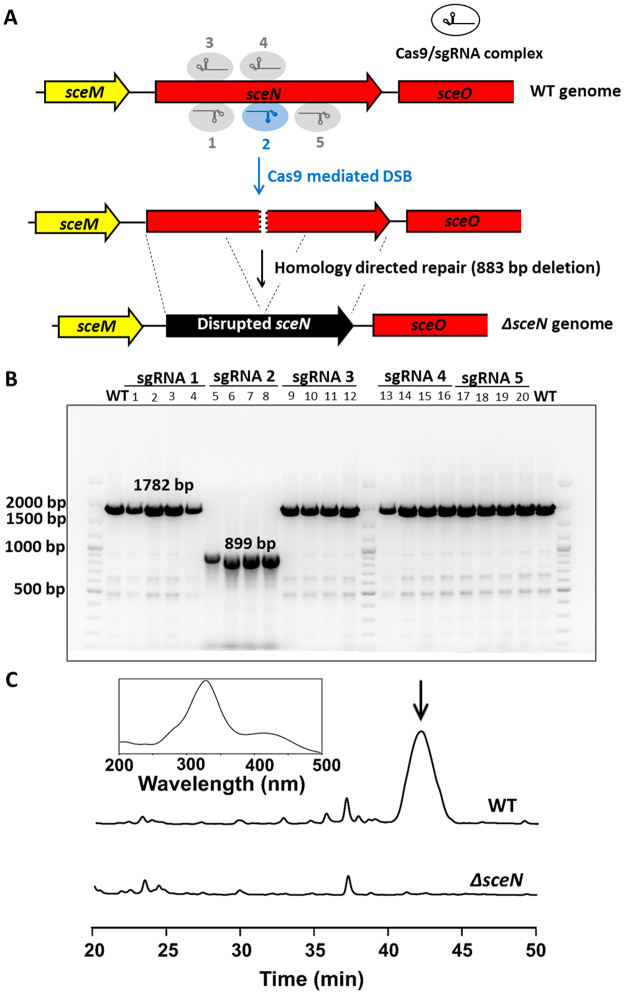 Inactivation of sceliphrolactam biosynthetic gene sceN using CRISPR/Cas9-based method. ( A ) Schematic illustration of the CRISPR/Cas9-mediated cleavage of genomic DNA and homology directed repair (HDR) to delete part of sceN . ( B ) PCR results confirmed the deletion of 883 base pairs of sceN using sgRNA2 as guide. A full-sized image of the DNA gel is included in the supporting information. ( C ) HPLC analysis of the ∆sceN mutant strain to show the abolishment of sceliphrolactam production. The sceliphrolactam peak is indicated by the arrow. The wavelength (λ) was set at 330 nm for the HPLC detector (Inset: on-line absorption spectrum of sceliphrolactam).