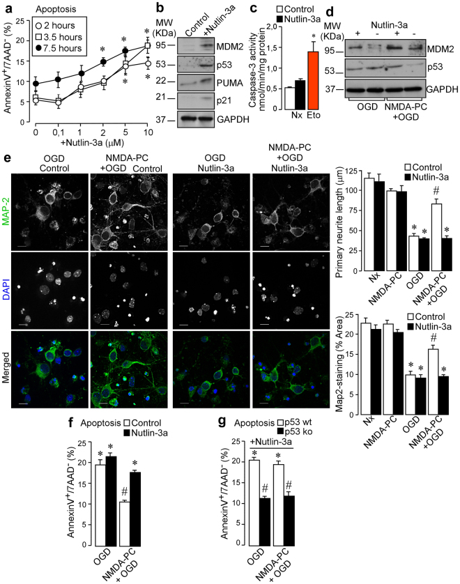 Pharmacological disruption of MDM2-p53 interaction abrogates NMDA-PC-caused neuroprotection after ischemia. Neurons (9–10 DIV) were treated with different concentrations of nutlin-3a (0–10 μM), a potent an specific inhibitor of MDM2 activity, at time periods indicated. ( a ) Nutlin-3a induced a dose-time dependent apoptotic effect in neurons, as compared with untreated neurons. The percentage of annexin V-APC stained neurons that were 7AAD negative were considered to be apoptotic (AnnexinV+/7AAD−). ( b ) As revealed by western blot, treatment with 2 μM nutlin-3a for 2 hours under normoxic conditions (indicated as control) increased MDM2, p53, p21 and PUMA expression levels. A representative western blot image is shown out of three. ( c ) Nutlin-3a-induced p53 stabilization did not cause the activation of caspase-3, when compared with neurons treated with the inductor of apoptosis, etoposide (10 μM, 24 hours; in red). ( d ) Disruption of MDM2-p53 interaction induced by nutlin-3a treatment prevented p53 destabilization caused by NMDA-PC. ( e ) Fluorescence microphotographs of neurons after immunostaining for Map-2 (green) revealed that nutlin-3a abrogates NMDA-PC-induced p53 destabilization and promotes neurite degeneration, as judged by quantification of the average primary neurite length and Map-2-staining area, at 4 hours after OGD. Scale bar: 10 μm. ( f ) MDM2-p53 disruption abrogated NMDA-PC-induced neuroprotection at 4 hours after OGD in wt neurons, ( g ) but not in p53 ko neurons. Data are means ± S.E.M. Statistical analysis of the results was evaluated by one-way analysis of variance, followed by the least significant difference multiple range test. Student's t-test was used for comparisons between two groups of values. In all cases, p