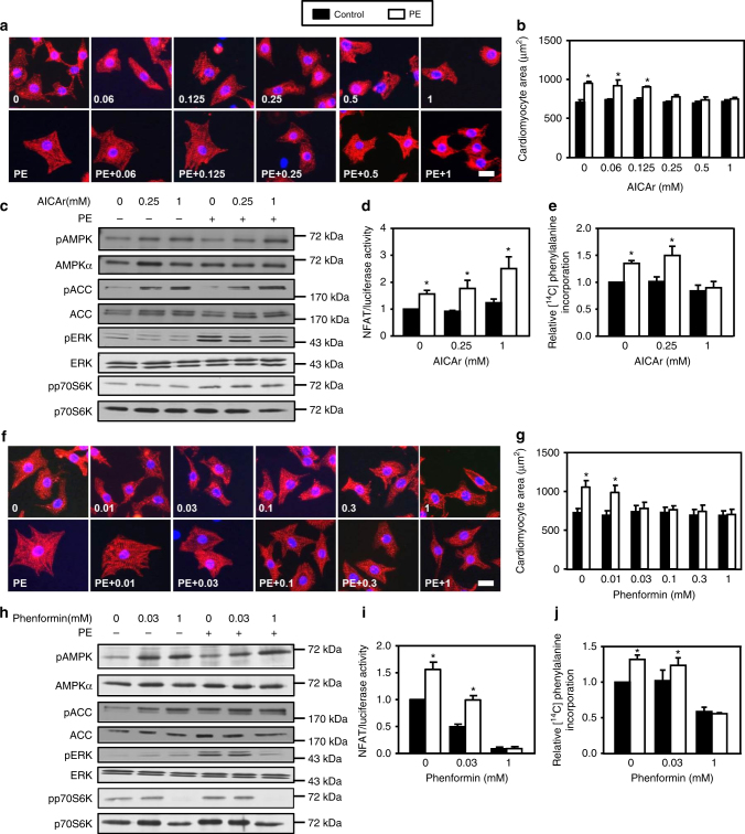 AICAr and phenformin mimick A769662 effects. a – e NRVMs were treated with (open bars) or without (solid bars) phenylephrine (PE, 20 µM) in the presence or not of AICAr (from 0.06 to 1 mM) for 24 h except for ERK1/2 phosphorylation which has been evaluated after 1 h. a , b Representative images and quantification of cardiomyocyte area evaluated after α-actinin immunostaining. Scale bar, 20 µm. N = 3. c Representative immunoblots of AMPK Thr172 , ACC Ser79 , ERK Thr202/Tyr204 and p70S6K Thr389 phosphorylation. d Evaluation of NFAT transcriptional activity by luciferase activity. N = 3. e Amino acids incorporation into proteins measured by [ 14 C]-phenylalanine incorporation. N = 5. f – j NRVMs were treated with (open bars) or without (solid bars) phenylephrine (PE, 20 µM) in the presence or not of phenformin (from 0.01 to 1 mM) for 24 h except for ERK1/2 phosphorylation which has been evaluated after 1 h. f , g Representative images and quantification of cardiomyocyte area evaluated after α-actinin immunostaining. Scale bar, 20 µm. N = 3. h Representative immunoblots of AMPK Thr172 , ACC Ser79 , ERK Thr202/Tyr204 , and p70S6K Thr389 phosphorylation. i Evaluation of NFAT transcriptional activity by luciferase activity. N = 3. j Amino acids incorporation into proteins measured by [ 14 C]-phenylalanine incorporation. N = 4. Data in ( a – j ) are mean ± s.e.m. The data in ( b , d , e , g , and i , j ) were analyzed using Two-way ANOVA followed by Bonferroni post-test. * p