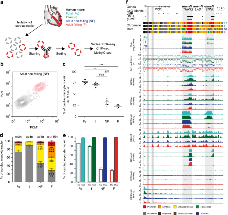 Sorting and analysis of cardiac myocyte nuclei and representative epigenetic map. a Workflow for the isolation of human cardiac myocyte nuclei for epigenetic and transcriptomic analysis. b FACS analysis of nuclei isolated from adult non-failing left ventricular tissue (LV). Nuclei were stained with anti-pericentriolar material 1 (PCM1) and anti-phospholamban (PLN) antibodies to identify cardiac myocyte nuclei (red). c Proportion of cardiac myocyte nuclei in fetal (Fe, n = 8), infantile (I, n = 5), adult non-failing (NF, n = 5), and adult failing (F, n = 5) LV tissue (mean ± SEM). d Distribution of cardiac myocyte ploidy in fetal ( n = 8), infantile ( n = 5), non-failing ( n = 5), and failing ( n = 5) left ventricles (mean ± SEM). e Percentage of cardiac myocyte nuclei in LV tissue before sorting (pre, open columns) and cardiac myocyte nuclei purity after FACS sorting (post, n = 3, mean ± SEM). f Original traces of RNA expression, mCpG, and histone marks of the troponin I type 1 ( TNNI1 ) and troponin T type 2 ( TNNT2 ) gene region. CpG islands, low methylated regions (LMR), unmethylated regions (UMR), genic unmethylated regions (gUMR), and the chromatin state are annotated. Gray areas highlight differentially CpG-methylated regions and genes. Shown are data from n biological replicates: mCpG, n = 3–5; H3K27ac, H3K9ac, H3K36me3, H3K4me1, H3K4me3, H3K27me3, and H3K9me3, n = 3; RNA, n = 3–4; * vs. Fe, p