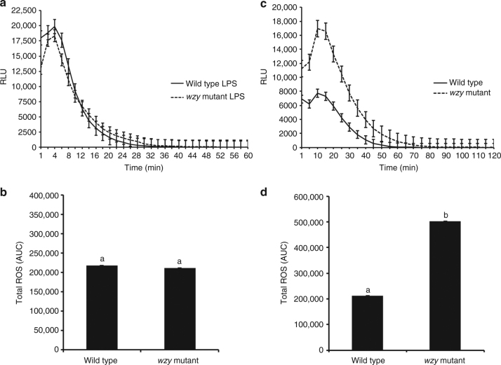 O-antigen-modulated ROS production by extracted LPS and intact bacterial cells ex vivo. Discs of V. vinifera 'Cabernet Sauvignon' leaves were treated with 20 μL of a 50 μg/mL solution of purified LPS elicitors (either wzy or wild type LPS) equal to a final amount of 10 μg (based on Kdo content) of LPS, 20 μL of a 10 8 CFU/mL suspension of Xf wild type or wzy cells, or diH 2 0 or 1× PBS-inoculated controls, respectively. a The amplitude of ROS production remained similar for both wild type and wzy LPS, reaching max production at ~4 min, and plateaued starting around 30 min. b Total ROS production is reported as area under the curve (AUC) for plot of luminescence intensity over time. Total ROS production was not significantly different between discs treated with wild type or wzy extracted LPS. c Intact wzy cells induced a significantly stronger oxidative burst that persisted nearly 20 min longer than leaves inoculated with wild type bacteria (which contained fully polymerized O-antigens). Graphs represent the mean of 24 replicates per treatment ± standard error of the mean. d Total ROS production is reported as area under the curve (AUC) for plot of luminescence intensity over time. Discs treated with wzy cells produced significantly more ROS than discs treated with wild type cells. Graphs represent the mean of 24 replicates per treatment ± standard error of the mean. Treatments with different letters over the bars are statistically different ( P