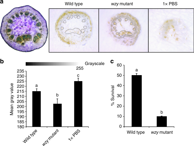In situ localization of O-antigen-modulated ROS production in the xylem in petioles of inoculated plants. a DAB-mediated tissue printing of petioles at 15 min post-inoculation indicated a strong production of H 2 O 2 specifically in the xylem vessels of grapevines needle inoculated with wzy cells (location of xylem vessels emphasized with dotted outline). Vines inoculated with wild type Xf exhibited H 2 O 2 production predominantly in peripheral collenchyma tissue, with some production in the xylem vessels. Vines inoculated with 1× PBS buffer served as negative controls. b Mean gray value of grayscale-converted DAB-stained images, representing differences in staining intensity. Grayscale intensities vary from 0 to 255; 0 = black, 255 = white, with the values in between representing shades of gray. The mean gray value of DAB-stained images from wzy -inoculated plants is significantly lower than wild type or 1× PBS-inoculated plants, indicating a darker, or more intense stain, and thus higher amounts of H 2 O 2 . Treatments with different letters over the bars are statistically different ( P