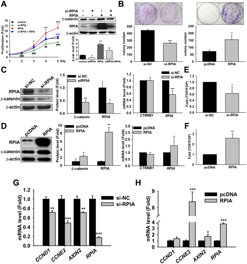 RPIA regulates colon cell proliferation through β-catenin expression in HCT116 cells. (A) Knockdown of RPIA significantly reduced cell proliferation and RPIA overexpression enhanced cell proliferation in HCT116 cells. Co-treatment of si-RPIA and pcDNA-RPIA rescued the reduction of cellular proliferation upon knockdown of RPIA in HCT116. Cell viability assays were performed by measuring the cells at the second, third, fourth, and fifth days and the proliferation fold is compared to control cell at the first day. Control: Co-transfect with scramble RNA and pcDNA empty vector as negative control. (B) RPIA knockdown significantly reduced colony formation ability, and RPIA overexpression enhanced colony formation ability in HCT116 cells. si-NC: Transfect with scramble siRNA as negative control. Representative images of colonies were shown on top of the quantification result. (C) Knockdown of RPIA reduced β-catenin protein levels as measured by western blotting (left panel) and quantified using Image J (middle panel) but did not significantly alter mRNA levels of β-catenin as measured by qPCR (right panel) in HCT116 cells. (D) RPIA overexpression increased β-catenin protein levels (left and middle panels) but did not affect β-catenin mRNA levels (right panel) in HCT116 cells. (E) Knock down of RPIA reduced the β-catenin/TCF luciferase reporter activity in HCT116 cells. (F) Overexpression of RPIA induced the β-catenin/TCF luciferase reporter activity in HCT116 cells. (G) Knockdown of RPIA decreased the mRNA levels of the β-catenin target genes CCND1 , CCNE2 , and AXIN2 in HCT116 cells. (H) Overexpression of RPIA increased the mRNA levels of the β-catenin target genes CCND1 , CCNE2 , and AXIN2 in HCT116 cells. The statistical significance was calculated with Student t test (* 0.01
