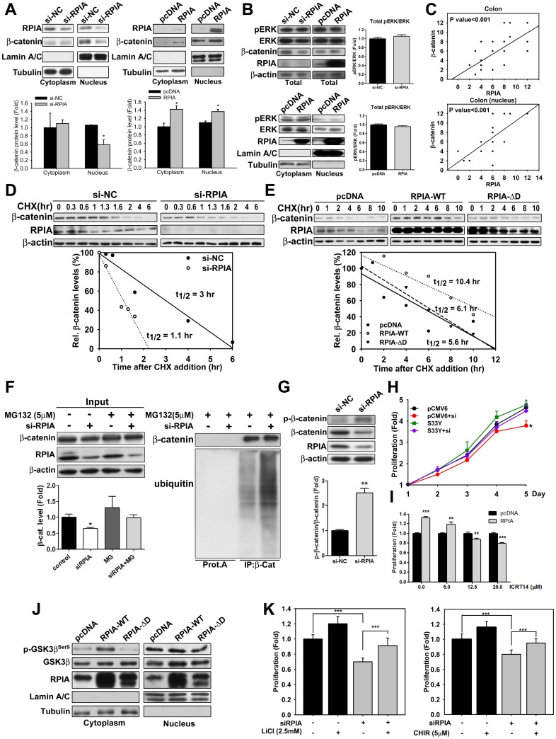 RPIA expression is positively correlated with β-catenin protein levels and stability in HCT116 cells. (A) Knockdown of RPIA reduced β-catenin protein levels and overexpression of RPIA increased β-catenin protein levels in both the cytoplasmic and nuclear fractions of HCT116 cells. (B) Knockdown of RPIA did not decrease ERK and pERK protein levels, which were measured by western blotting in total protein analysis (up panel) in HCT116. Conversely, overexpression of RPIA did not increase ERK and pERK protein levels (up panel). In the lower panel, both cytoplasmic and nuclear fraction showed that ERK and pERK protein levels did not up-regulate in HCT116. (C) Scatter plots show a positive correlation between RPIA and β-catenin expression in the colon tissue or nucleus. (D) To determine the half-life of β-catenin protein, western blots were used to measure the abundance of β-catenin at different time points following the addition of 10 μg/ml of the protein synthesis inhibitor CHX to HCT116 cells transfected with either control siRNA or RPIA-siRNA. The lower panels show plots of the relative β-catenin protein level, expressed as a percentage as a function of time after CHX treatment. (E) RPIA-ΔD lost the ability to stabilize β-catenin. Relative β-catenin protein levels as measured by quantification of western blot are shown in HCT116 cells. (F) The reduced β-catenin levels by RPIA knockdown were rescued by 5 μM of MG132 treatment (left panel). Inhibition of RPIA stimulated ubiquitination of β-catenin (right panel). β-Catenin was precipitated by specific antibody. Coprecipitated ubiquitin levels were examined via western blot with antiubiquitin antibody. (G) Phosphorylated β-catenin (at Ser33/Ser37) versus total β-catenin was elevated upon RPIA knockdown. Gel images are shown in the up panel. (H) Overexpression of nondegradable β-catenin can overcome the growth inhibition induced by RPIA knockdown in HCT116 cells. The proliferation fold is compared to pMCV6 transfected cont