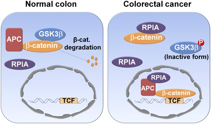 Model of the RPIA mechanism for induction of <t>β-catenin</t> signaling in CRCs. Schematic representation shows the role of RPIA and β-catenin signaling in normal and CRC cells. In normal cells, RPIA does not interfere with GSK3β-mediated β-catenin degradation. In CRC, RPIA is overexpressed in both the cytoplasm and the nucleus; RPIA then binds to β-catenin in cytoplasm, and this prevents the degradation of β-catenin mediated by GSK3β. Within the nucleus, increased levels of β-catenin protein might also be caused by RPIA interrupting the APC-mediated transport of β-catenin from the nucleus to the cytoplasm. Overall, this would result in activation of downstream β-catenin target genes. β-cat, β-catenin; APC, adenomatous polyposis coli; CRC, colorectal cancer; GSK3β, glycogen synthase kinase-3′; RPIA, ribose-5-phosphate isomerase A, TCF, T-cell transcription factor.