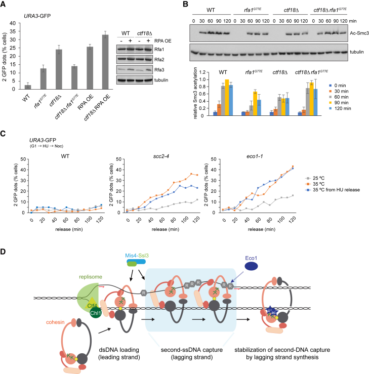 RPA Impacts on Sister Chromatid Cohesion Establishment In Vivo (A) Effect of the rfa1 G77E mutation or RPA overexpression (RPA OE) on sister chromatid cohesion in ctf18Δ cells. Cells were synchronized and arrested in mitosis by nocodazole treatment. Sister chromatid cohesion at the GFP-marked URA3 locus was analyzed. Western blotting confirmed RPA overexpression. At least 100 cells were scored under each condition. The graph shows means and standard deviations from three independent experiments. (B) Smc3 acetylation was analyzed in synchronized cultures from the strains above by western blotting. The acetyl-Smc3 signal, normalized to tubulin and then to the WT signal at 90 min, was quantified in three independent repeats of the experiment. The means and standard deviations are shown. (C) The cohesin loader promotes sister chromatid cohesion establishment. Sister chromatid cohesion was monitored at indicated time points following release from G1 or HU under the indicated conditions and genotypes. (D) A model for the establishment of sister chromatid cohesion at the DNA replication fork. See the Discussion for details. See also Figure S6 for supporting genetic and cell-cycle analyses that explore the role of RPA in sister chromatid cohesion establishment.