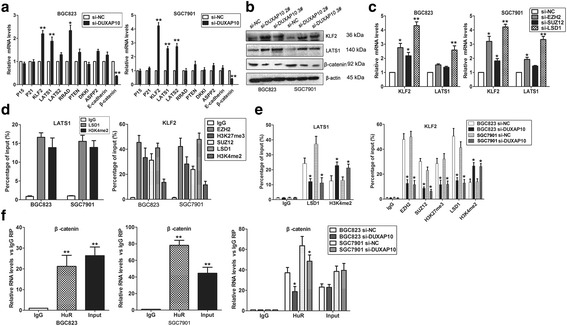 DUXAP10 interacts PRC2/LSD1 and HuR to regulate KLF2, LATS1and β-catenin expression. a QPCR was used to examine the levels of potential DUXAP10 targets in GC cells after knockdown of DUXAP10. b KLF2, LATS1and β-catenin protein levels were analyzed by western blot in GC cells after knockdown of DUXAP10. c KLF2 and LATS1 levels were analyzed by qPCR in GC cells after transfection with EZH2, SUZ12 and LSD1 siRNA. d , e ChIP shows SUZ12, EZH2, H3K27me3, LSD1 and H3K4me2 occupancy in the LATS1 and KLF2 promoter region, while knockdown of DUXAP10 decreased their binding ability. f RIP assays show the interaction between HuR and β-catenin mRNA in GC cells, and knockdown of DUXAP10 impaired their interaction ability. * P