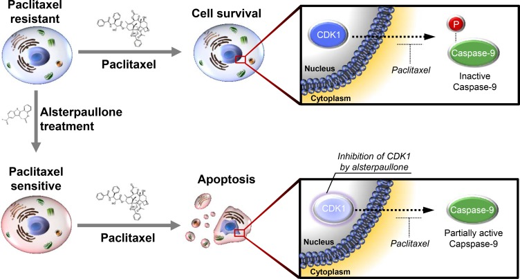 Schematic diagram explaining the mode of action of alsterpaullone Phosphorylation of caspase-9 indicates its inactive form. In the lower panel, the light color of CDK1 is intended to express the relatively reduced activity of CDK1.
