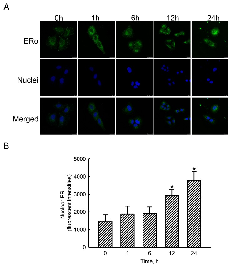 Effects of estradiol on translocation of estrogen receptor alpha (ERα) to nuclei Human osteoblast-like U2OS cells were exposed to 10 nM of estradiol for 1, 6, 12, and 24 h. Distribution of the ERα protein in human osteoblasts was immunodetected using an antibody with Cy3-conjugated streptavidin ( A , top panel). Cellular nuclei were stained with 4',6-diamidino-2-phenylindole (DAPI) (middle panel). The merged signals indicated that the ERα protein had been translocated into nuclei (bottom panel). These merged fluorescent signals were quantified and statistically analyzed (B) . Each value represents the mean ± SEM for n = 6. The symbol * indicates that the value significantly differed from the respective control group, p