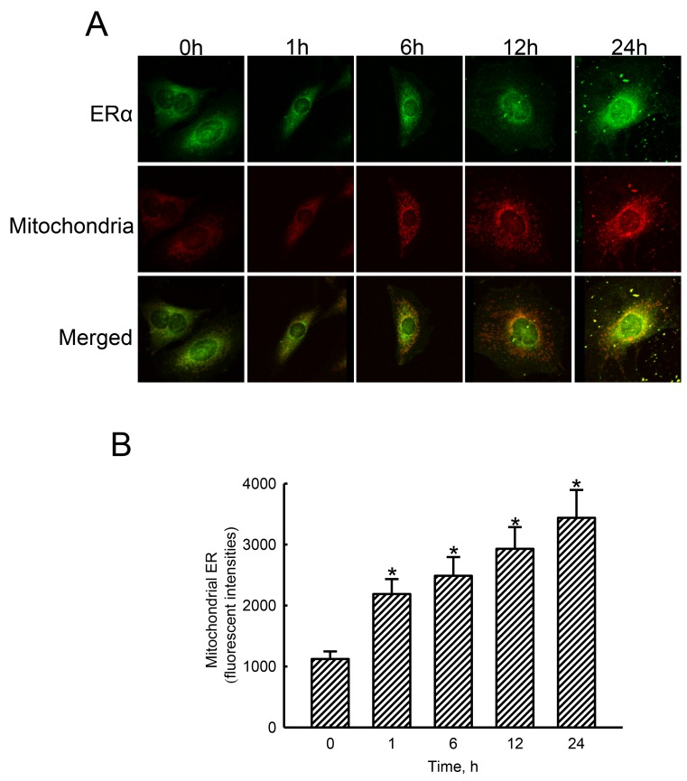 Effects of estradiol on translocation of estrogen receptor alpha (ERα) to mitochondria Human osteoblast-like U2OS cells were exposed to 10 nM of estradiol for 1, 6, 12, and 24 h. Distribution of the ERα protein in human osteoblasts was immunodetected using an antibody with Cy3-conjugated streptavidin ( A , top panel). Mitochondria of human osteoblasts were stained with 3,3′-dihexyloxacarbocyanine (DiOC6), a positively charged dye (middle panel). Merged signals indicated that the ERα protein had been translocated into mitochondria (bottom panels). These fluorescent signals were quantified and statistically analyzed (B) . Each value represents the mean ± SEM for n = 6. The symbol * indicates that the value significantly differed from the respective control group, p