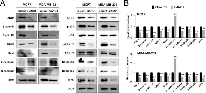 The expression of ANO1 is associated with the expression of signaling molecules associated with the proliferation and invasiveness of breast cancer cells ( A ) The protein levels of β-catenin, cyclin D1, MMP9, snail, N-cadherin, phospho-p38 MAPK, phospho-ERK1/2, NFκB p50, NFκB p65, and MYC decreased with knock-down of ANO1 by siRNA for ANO1 in both MCF7 and MDA-MB-231 cells. In contrast, the expression of the protein of E-cadherin increased with knock-down of ANO1 in both MCF7 and MDA-MB-231 cells. ( B ) The mRNA levels of β-catenin, cyclin D1, MMP9, snail, N-cadherin, NFκB p50, NFκB p65, and MYC decreased, but the expression of E-cadherin mRNA increased with knock-down of ANO1 in both MCF7 and MDA-MB-231 cells. ** P