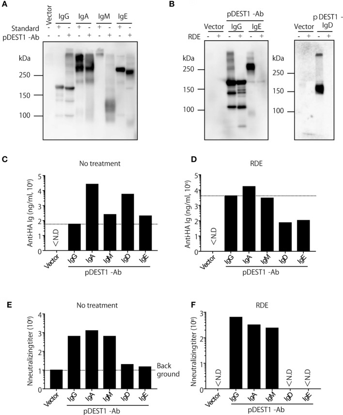 Anti-HA IgG, IgA, and IgM neutralize influenza virus in vitro . (A–F) HEK293T cells were co-transfected with pCADEST1-empty (vector) or pCADEST1-anti-HA kappa and anti-HA IgG, anti-HA IgA and Joining chain, anti-HA IgM and Joining chain, anti-HA IgD, or anti-HA IgE. Supernatants were collected after 1 week. (B,D,F) The supernatants were treated with receptor destroying enzyme (RDE) for overnight at 37°C. (A,B) The supernatants were processed by western blotting under non-reducing conditions followed by probing with HRP-conjugated goat anti-mouse IgG, IgA, IgM, and IgE. For detecting IgD, the blotted supernatants were probed with APC-conjugated rat anti-mouse IgD followed by HRP-conjugated anti-rat IgG. The indicated data are representative of two independent experiments. (C,D) The concentration of anti-HA antibodies in the supernatants was measured by competitive ELISA. A 96-well plate coated with HA was incubated with the supernatants, followed by addition of biotin-conjugated anti-HA IgG monoclonal antibody (mAb). (E,F) The neutralizing antibody titer was measured by a micro-neutralization assay. ND, not detected.