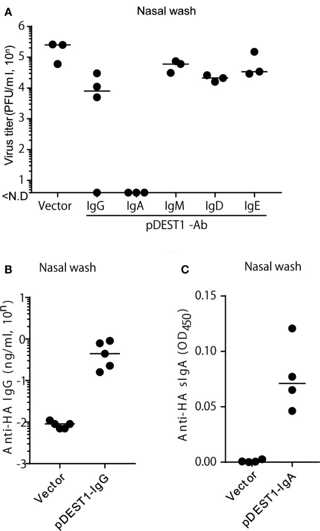 HD protects mice from influenza virus infection in the upper respiratory tract. (A) HD was conducted in BALB/c mice 8 h after intranasal infection (1,000 PFU/2 μl, each nostril). At 3 days post-infection, the virus titer in nasal wash specimens was determined by an MDCK plaque assay. Data were analyzed using a non-parametric Kruskal–Wallis test ( p = 0.0091). (B) HD for anti-HA IgG was conducted in BALB/c mice and after 1 day, nasal wash specimens were obtained under serum-excluding conditions and analyzed for the concentration of anti-HA IgG by ELISA. (C) HD for anti-HA IgA was conducted in BALB/c mice after 8 h of virus infection. At 3 days post-infection, the nasal wash was obtained and the secreted HA-specific IgA (anti-HA sIgA) level was measured by ELISA using rabbit anti-mouse polymeric Ig receptor (pIgR). Horizontal bar represents the median. The indicated data are representative of two independent experiments.