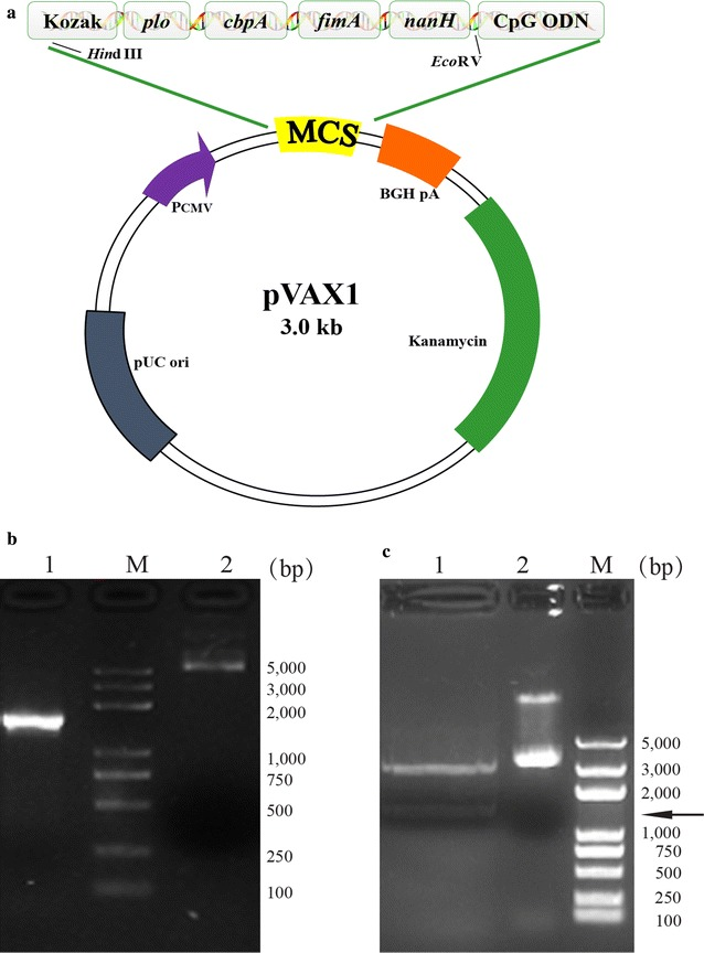 Identification of the multivalent DNA plasmid pPCFN-CpG. a Schematic representation of pPCFN-CpG. The chimeric gene containing four different virulence genes was inserted into pVAX1 utilizing Hin dIII and Eco RV sites. b The multivalent DNA plasmids were separated by electrophoresis. Lane 1, pVAX1 empty plasmid; Lane 2, pPCFN-CpG plasmid; Lane M, DNA marker-DL5000. c The digestion products were separated by electrophoresis. Lane 1, two fragments after restriction enzyme digestion with Hin dIII and Eco RV; Lane 2, pPCFN-CpG plasmid. Lane M, DNA marker-DL5000. The position of the 1482 bp band is indicated by the arrow. pPCFN-CpG, the DNA plasmid contains the epitope of plo , cbpA , fimA , and nanH gene of T. pyogenes and CpG ODN1826 motif