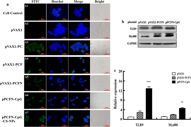 Transient expression of the chimeric protein and activation of CpG. a HEK293T cells were transfected with plasmid pPCFN-CpG, pVAX1-PCFN, pVAX1-PCF, pVAX1-PC, pVAX1, or pPCFN-CpG-CS-NPs respectively. Transient expression of proteins was detected with anti-PLO mouse polyclonal antibody by using fluorescence microscopy assays (A3-A7). (A1) Cell controls. (A2) Cells were transfected with vector pVAX1. FITC: FITC-conjugated goat anti-mouse IgG; Hoechst: cell nuclei; Merge: the overlay fluorescence images of FITC and nucleus; Bright: the external profiles of HEK293T cells. The scale bar is 50 μm. b and c RAW264.7 were transfected with pVAX1, pVAX1-PCFN or pPCFN-CpG plasmid for 36 h. The expression levels of TLR9 and Myd88 were detected by western blotting ( b ) and qPCR ( c ). Data are shown as the mean ± SEM of three independent experiments. *** p