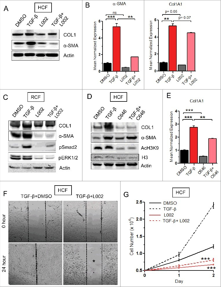 FATp300 inhibitor L002 reduces differentiation, migration and proliferation of cardiac fibroblasts. (A to E) Human cardiac fibroblasts (HCFs) or rat cardiac fibroblasts (RCFs) were cultured and treated in triplicate with L002 or C646 or DMSO in the presence or absence of TGF-β. Total protein were isolated, pooled and processed for Western blot (A, C, D) using indicated antibodies. Experiments were repeated two times. Total RNA were isolated and processed for qPCR in triplicate (B, E) using gene specific primers. (F) For migration study, the scratch wounds were made in monolayer cultures of HCFs. Cells were then pretreated in triplicate with L002 or DMSO for 1 hour followed by TGF-β treatment for 24 h. Photographs were taken at 0 hour and 24-hour post-treatment. (G) For proliferation study, HCFs were pretreated in triplicate with L002 or DMSO for 1 h followed by treatment with TGF-β. Cell numbers were counted at 24 h and 48 h. Data represented as mean ± SEM. **p