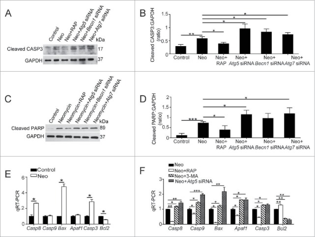 Autophagy affects the levels of apoptosis-related genes and proteins in HEI-OC-1 cells after neomycin exposure. (A) Western blots with anti-cleaved-CASP3 antibody revealed that the amount of cleaved-CASP3 is significantly increased after neomycin treatment. In addition, the amount could be increased by ATG knockdown and could be reduced by rapamycin, n = 4. (B) Quantification of the western blot in (A). (C) Western blots with anti-cleaved-PARP1 antibody, n = 4. (D) Quantification of the western blot in (C). (E) The mRNA levels of proapoptotic genes and antiapoptotic genes were analyzed by qRT-PCR after treatment with neomycin, n = 3. (F) qRT-PCR analysis of the apoptosis-related gene expression in the ATG5 knockdown group, 3-MA-pretreatment group, and rapamycin-pretreatment group after neomycin injury, n = 3. For qRT-PCR experiments, the values for the normal controls were set to 1. Scale bars: 20 μm. * P