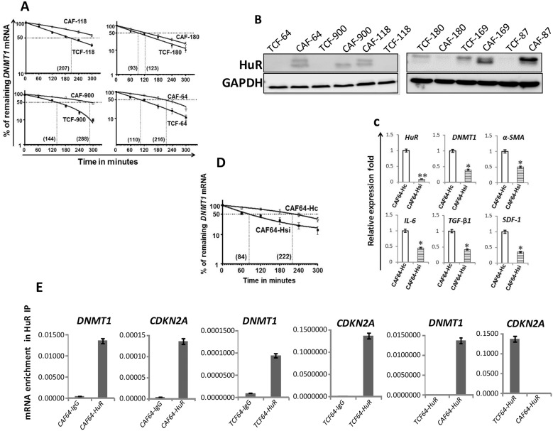 DNMTl upregulation in CAFs is mediated through HuR-dependent stabilization (A) and (D) Exponentially growing cells were treated with actinomycin D (5 μg/ml) for various periods of time, and total RNA was extracted and the level of the DNMT1 mRNA was assessed using qRT-PCR. The values were determined and normalized against GAPDH. Graphs show the proportion of the DNMT1 mRNA remaining post-treatment, and the dotted lines indicate the DNMT1 mRNA half life, the corresponding values are in brackets. Error bars indicate mean ± S.D (n=3). (B) Whole-cell lysates were prepared from the indicated cells, and used for imrnunoblotting analysis. (C) Total RNA was extracted from CAF-64 cells expressing either HuR-siRNA (CAF64-Hsi) or control siRNA (CAF64-Hc), and the levels of the indicated genes were assessed by qRT-PCR and normalized against GAPDH. Error bars represent mean ± S.D. * , P
