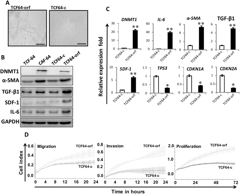 Ectopic expression of DNMT1 activates breast stromal fibroblasts TCF-64 cells were transfected with a plasmid bearing the DNMT1 ORF (TCF64-orf) or an empty vector (TCF64-c). (A) Phase contrast images of cells several days post-transfection. Fluid Cell Imaging Station was utilized, scale bar = 50 μM. (B) Whole-cell lysates were prepared from the indicated cells, and were used for immunoblotting analysis using antibodies against the indicated proteins. (C) Total RNA was extracted and the mRNA levels of the indicated genes were assessed using qRT-PCR. Error bars represent mean ± S.D (n=3). * , P