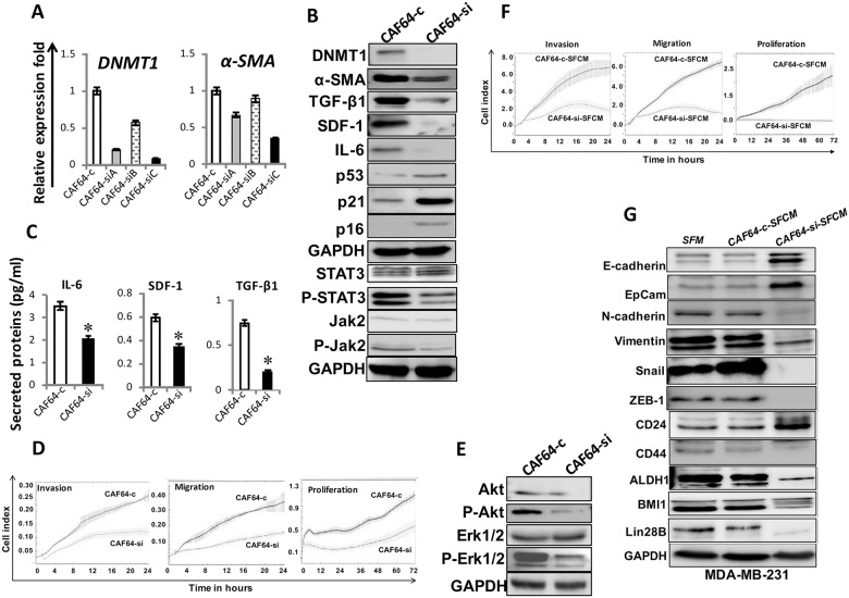 DNMT1 downregulation suppresses myofibroblasts CAF-64 cells were transfected with 3 different DNMT1-siRNA sequences (A), (B) and (C) (CAF64-si) and a scrambled sequence was used as control (CAF64-c). (A) Total RNA was extracted and used for qRT-PCR. Error bars represent mean ± S.D. (B) and (E) Whole-cell lysates were prepared from CAF64si and CAF64-c, and then were used for immunoblotting analysis using specific antibodies against the indicated proteins. (C) SFCM from the indicated cells were collected after 24 h and the levels of the indicated proteins were determined by ELISA and were presented in the respective histograms. Error bars indicate mean ± S.D (n=3). * , P