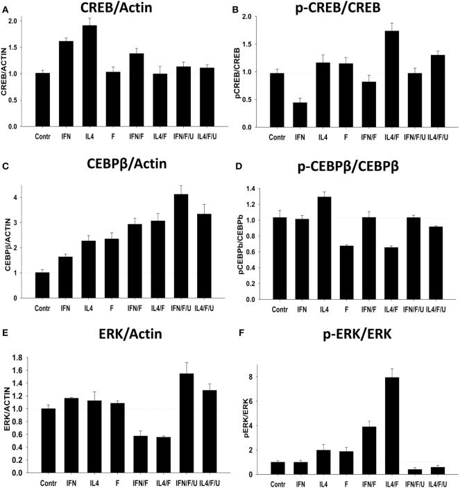 """Effect of Forskolin on activation of downstream signaling pathways CREB, CEBPβ, and <t>ERK1/2</t> in M0 macrophages (Control), or during M2 (IL-4) vs. M1 (IFNγ) polarizing conditions. Bone marrow-derived macrophages were grown for 5 days in the presence of M-CSF and were treated with Forskolin, or IL4, or IFNγ, or Forskolin/IL4, or Forskolin/IFNγ, or Forskolin/IL4/IFNγ for 24 h as in Figure 1 . ERK1/2 inhibitor <t>U0126</t> was used to block ERK1 and ERK2 phosphorylation (see Materials and Methods ). Expressions of CREB, CEBPβ, and ERK1/2 and their phosphorylated forms (p-CREB, p-CEBPβ, and p-ERK1/2) were analyzed by Western blot as described in Section """" Materials and Methods ."""" β-Actin was used as a loading control. (A,C,E) Quantitative analysis of relative expression levels of CREB, CEBPβ, and ERK normalized to β-actin is shown. Representative image is shown in Figure S1 in Supplementary Material. (B,D,F) Quantitative analysis of relative expression levels of p-CREB, p-CEBPβ, and p-ERK normalized to total CREB, CEBPβ, and ERK1/2, respectively, is shown. Representative image is shown in Figure S1 in Supplementary Material. In panels (A–D) , mean ± SE of three separate experiments is shown. Abbreviations: IFN, IFNγ; IL4, IL-4; F, Forskolin; U, U0126."""