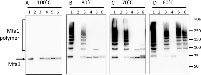 The last strand and Trp binding pocket of Mfa1 are involved in polymerization. Whole cell lysates were solubilized in SDS buffer and heated to: ( A ) 100 °C for 5 min, ( B ) 80 °C for 5 min, ( C ) 70 °C for 10 min, or ( D ) 60 °C for 10 min. The samples were separated on SDS-PAGE, blotted to a membrane and probed with a polyclonal Mfa1 fimbriae antibody. Lanes: 1, JI-1(positive control); 2, Δmfa1Δfim ; 3, + mfa1 ; 4, + mfa1ΔC ; 5, + mfa1R236A ; 6, + mfa1 W554A .