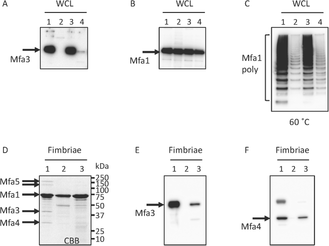 Deletion of the nine final Mfa3 residues does not affect the polymerization or downstream proteins. Expression of ( A ) Mfa3 or ( B ) Mfa1 or ( C ) polymerization of Mfa1. Whole cell lysates were solubilized in SDS buffer, heated to 100 °C for 5 min ( A and B ) or 60 °C for 10 min ( C ). The samples were separated on SDS-PAGE, blotted to a PVDF membrane and probed with a polyclonal Mfa3 antibody ( A ) or an Mfa1 fimbriae antibody ( B and C ). Lanes: 1, JI-1 (positive control); 2, Δmfa3ΔfimA ; 3, + mfa3 ; 4, + mfa3ΔC ( A – C ). Effect of mfa3ΔC mutation on incorporation of accessory proteins ( D – F ). ( D ) SDS-PAGE of pure Mfa1 fimbriae. ( E ) Immunoblot analysis of pure Mfa1 fimbriae using an anti-Mfa3 antibody. ( F ), Immunoblot analysis of pure Mfa1 fimbriae using an anti-Mfa4 antibody Lanes: 1, JI-1 (positive control); 2, Δmfa3ΔfimA ; 3, + mfa3ΔC ( D – F ).