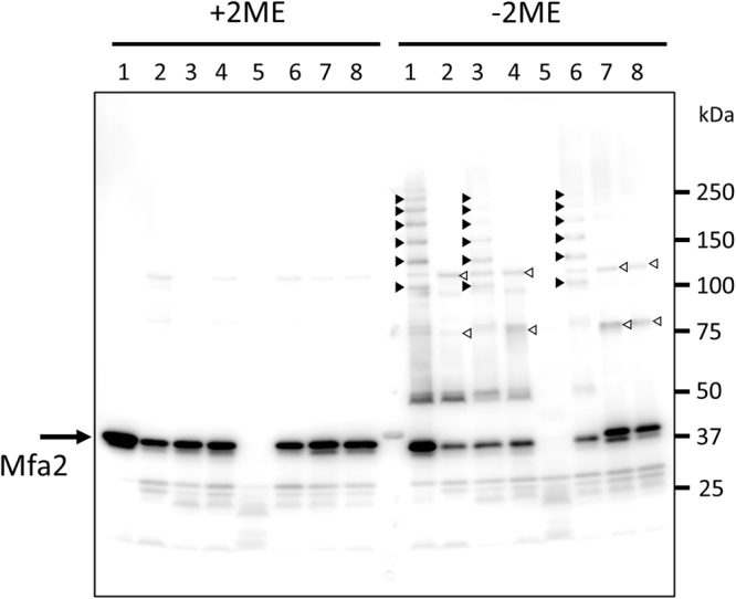 Mfa2 C54 and C285 are involved in Mfa1-Mfa2 interaction. Whole cell lysates were solubilized in SDS buffer (+2BME) or (−2BME), heated to 80 °C for 5 min, separated on SDS-PAGE, and blotted to a PVDF membrane. The samples were probed with an Mfa2 polyclonal antibody. Lanes: 1, JI-1 (positive control); 2, Δmfa1Δfim ; 3, + mfa1 ; 4, + mfa1ΔC ; 5, Δmfa2ΔfimA (negative control); 6, + mfa2 ; 7, + mfa2C54A ; 8, + mfa2C285A .