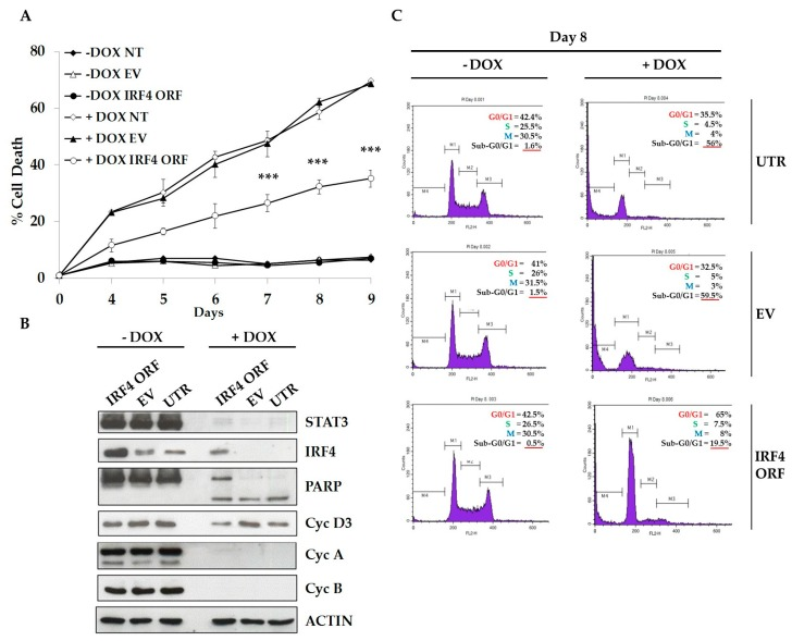 IRF4 partially mediates STAT3 oncogenic properties in ALCL cells. ( A ) TS-SUP-M2 S3S cells were transduced with lentiviral particles expressing human IRF4 open reading frame (ORF), an empty vector (EV), or left untransduced (UTR) as negative controls. Cells were cultured in the presence of 1 µg/mL doxycycline to induce STAT3 KD. Kinetics of cell death induced by conditional STAT3 KD revealed that cells expressing IRF4 displayed lower apoptotic rates compared to controls. Apoptosis analysis was performed by TMRM staining-flow cytometry at the indicated time points after doxycycline treatment. Error bars represent the s.d. of triplicate measurements (*** p